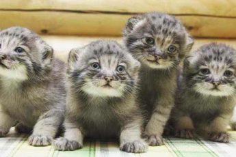 Мужчина подобрал обычных котят, но когда они выросли, его ждал настоящий сюрприз