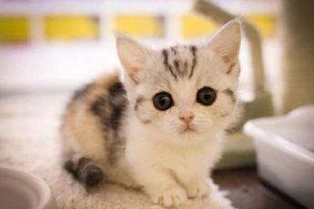munchkin-kittys.jpg.pagespeed.ce_.gBUbrVu1wD_836x575