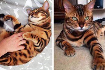 cat-tigr