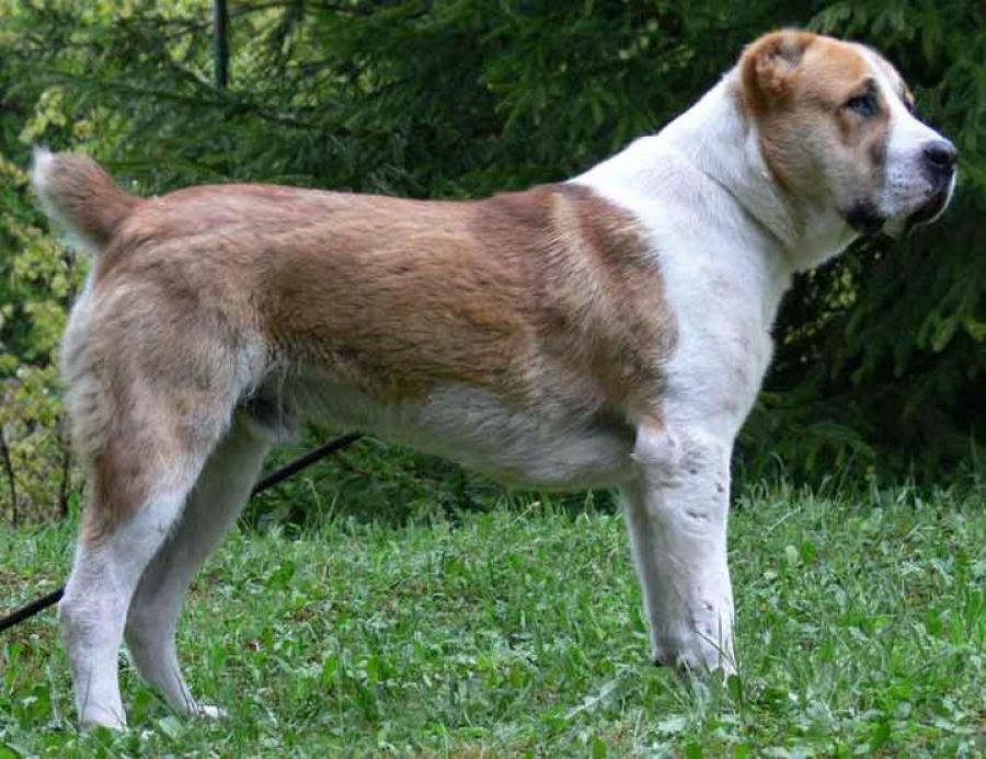 Собака алабая