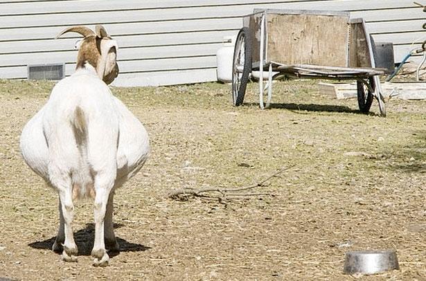 Беременность у козы